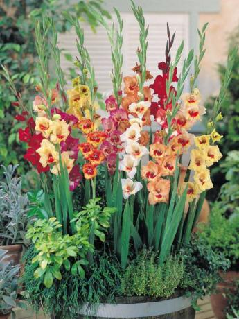 gladiolus6.preview